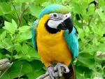 Korsan Papağan
